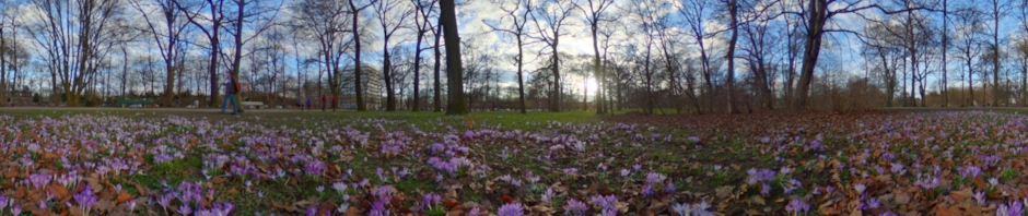 Crocus in Luitpoldpark