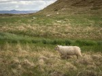Sheep at lake Myvatn
